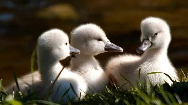 Картинки утка с утятами для детей – Раскраска Утка Скачать ...